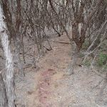 Track through the thick bush to Mowarry Point (104728)