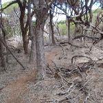 Many fallen branched in the Melaleuca (104824)