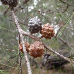 Seed pods (107023)