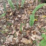 Ferns beside the track (108091)