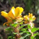 Flowers in Garigal national park (Currie Rd track) (127018)