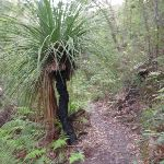Grass tree next to track to Red Hands Cave (145674)