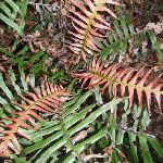 Ferns beside track to Martins Lookout (147240)