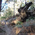 Uprooted old tree (203365)