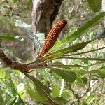 Young Banksia (22043)
