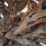 Old Exposed roots of a tree (233361)