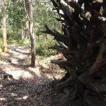 Large exposed tree roots (233364)