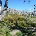 A forest of dead snow gums (263768)