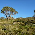 Snow gums and heath beside track (268763)