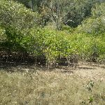 Smiths Creek and Mangrove Trees (27446)