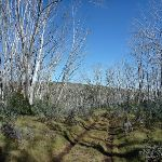 Line of dead snow gums on the Cascade Trail (282689)