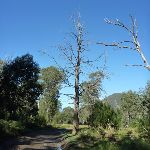 Old tree from the Int east of Old Geehi Hut (294429)