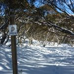 Snowshoe trail leading through forest of snow gums (300100)