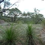 Nerang Viewpoint grass trees in foreground (Xanthorrhoea sp) (305999)