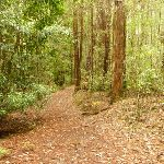 Track near the Pines campstie in the Watagans (320687)