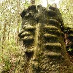 Old tree trunk in the Watagans (320699)