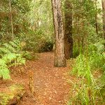 Track to the Pines picnic area in the Watagans (320741)