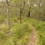 Forest track near Gap Creek viewpoint in the Watagans (322961)