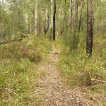 Track to base of Monkey Face cliff near Bangalow campsite in the Watagans (323261)