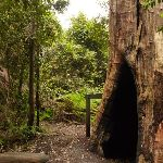 Large old tree trunk at intersection of Gap Creek Falls and Forest Walk in the Watagans (323870)