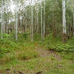 Hornsby's high Blue gum forest (325433)