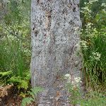 A well weathered gum (328550)