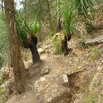 Grass trees and track beside Berowra Creek (331040)