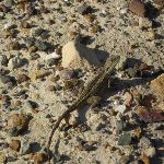 Expect to see at least one lizard along the track (33107)