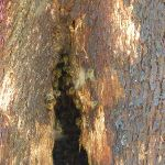 Bee Hive in tree (337888)