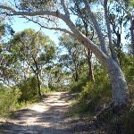 Scribly gum on trail north of Naa Badu Lookout (352319)