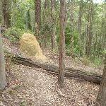 Termite Mound on The Great North Walk (360320)