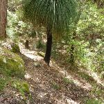 Grass tree (Xanthorrhoea sp) south of Langans Rd Watagan State Forest (363254)