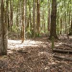 Open woodland in Olney State Forest (364163)