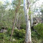 Rock walls and grand trees on the Lyrebird Trail (364823)