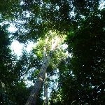 Views of the sky through trees in the Blackbutt Reserve (399694)