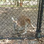 Kangaroo behind a metal ring fence at Carnley Ave Reserve (400156)
