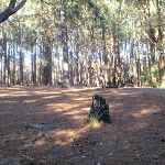 The Pines Forest picnic area (65015)