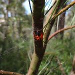 Red spider The Oaks Fire Trail (74091)