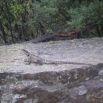 One of the lizards along the trail that you might see (8090)