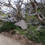 Snow gums beside the Summit Trail (96199)