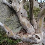 Snow Gum and Rock (96766)